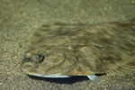 Flounder  (Platichthys flesus)